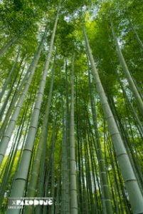 greenbambootrees pakodung - 9