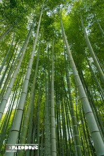 greenbambootrees pakodung - 1